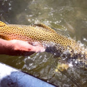 releasing a brown trout into the green river wyoming