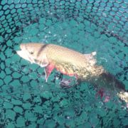 brook trout caught on Cottonwood Lake